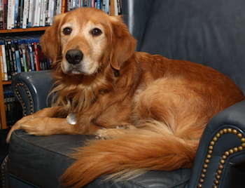 Ike the Golden Retriever resting in his favorite chair at home