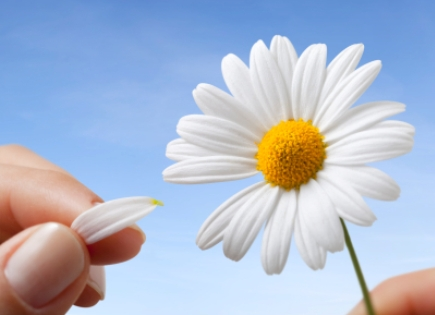 """A petal pulled from a daisy, playing the game, """"He Loves Me, He Loves Me Not."""""""