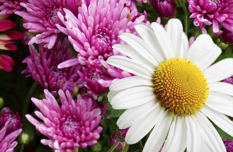 A daisy poking out amid a field of mums