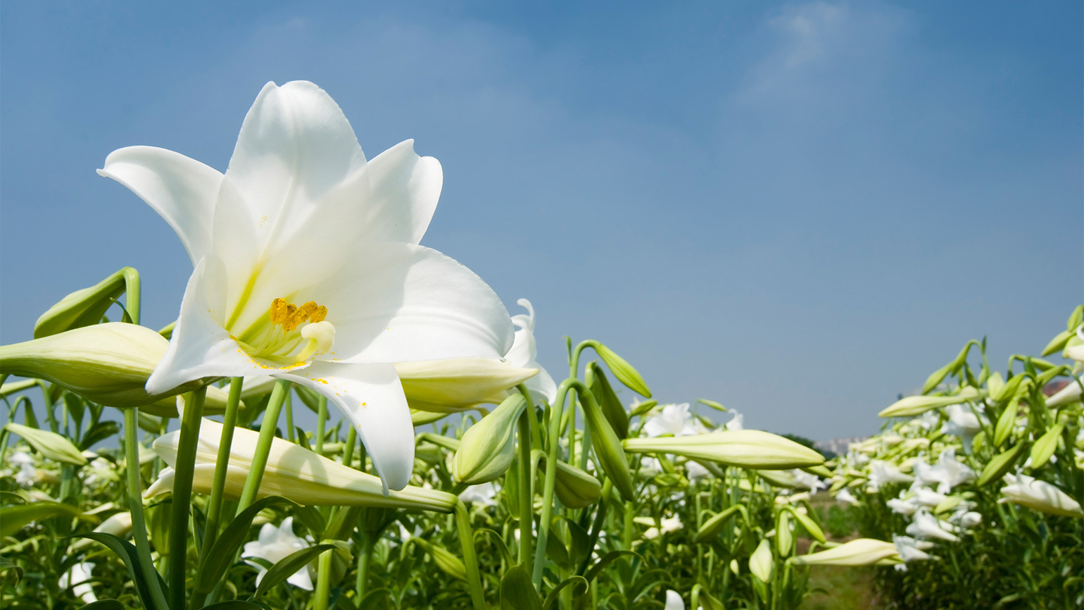 Easter lilies under a bright, blue sky