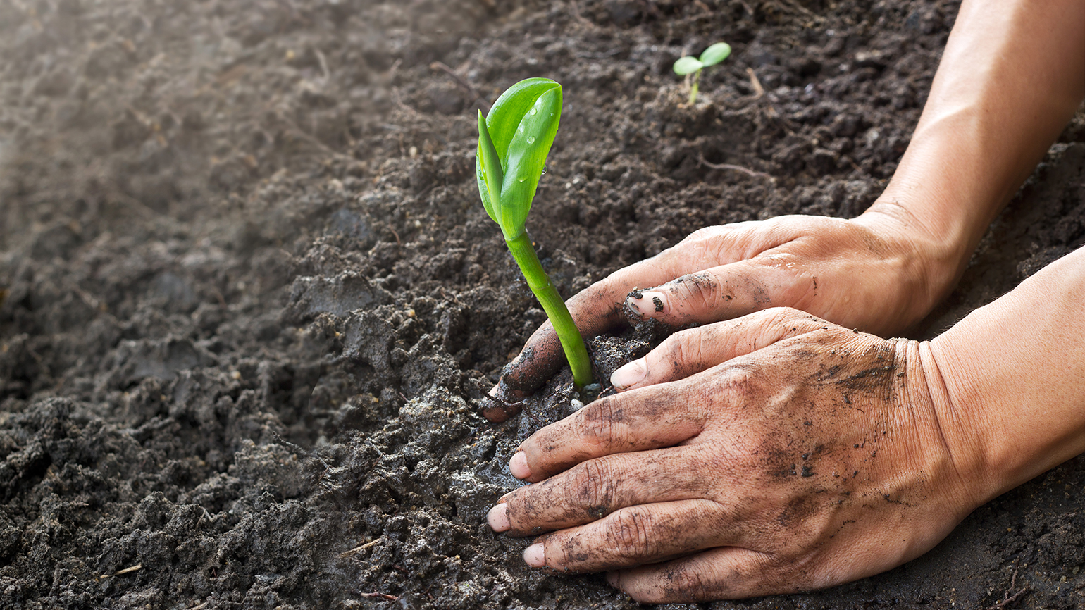 A gardener's hands form the soil around a seedling