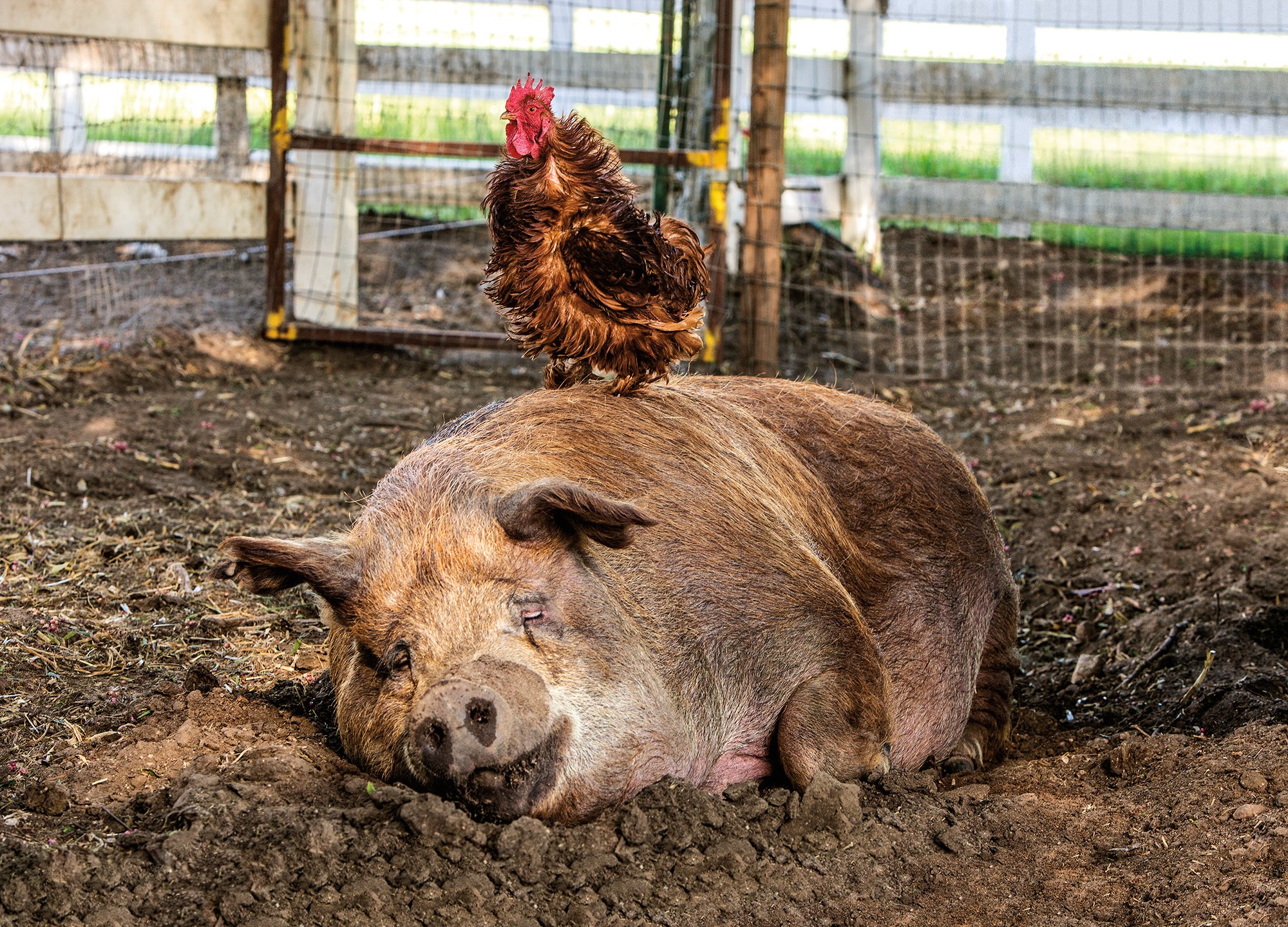 A pig and a rooster relaxes on John and Molly's farm.