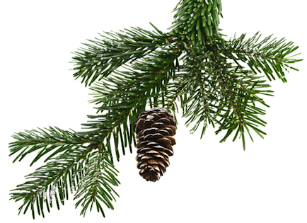 pine bough with a single pine cone