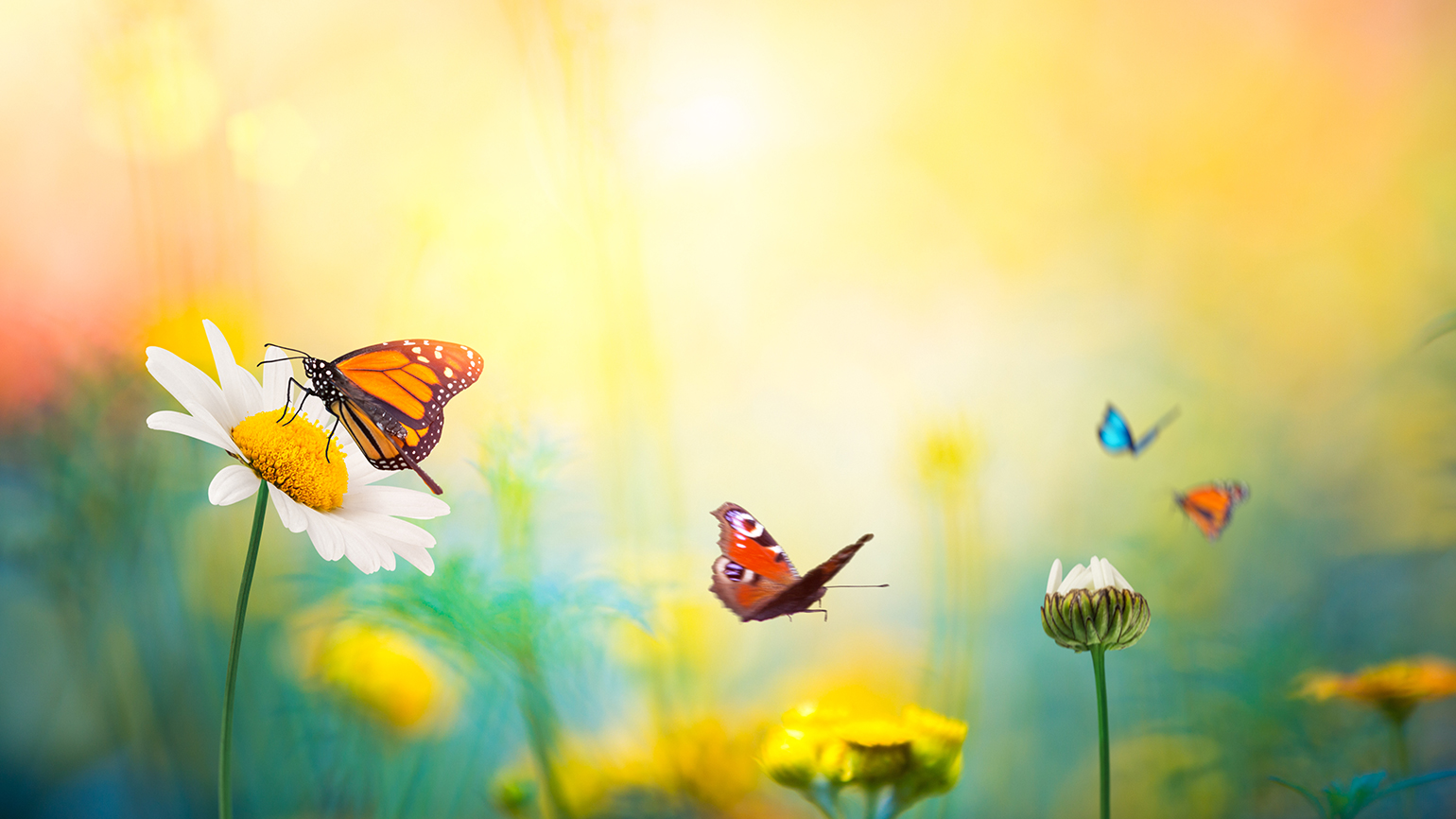 Butterflies flit from flower to spring flower in a sun-drenched meadow
