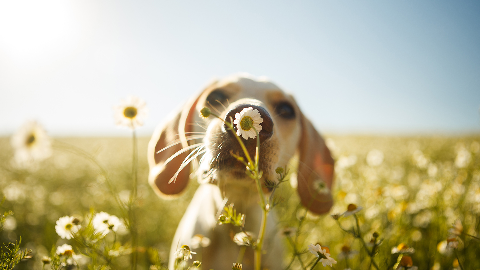 A dog pauses to smell a flower on a spring day