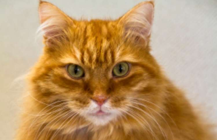 a gorgeous orange tabby cat with peridot eyes