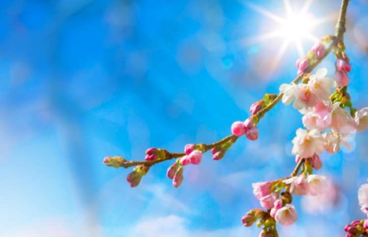 The sun rising through beatiful spring blossoms.