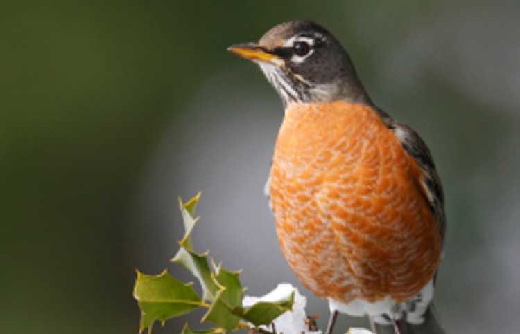 The Robin is an answered prayer