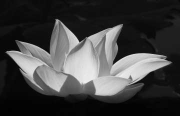 Does this white lotus flower inspire prayer?