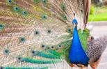 Peacock fanning his tail. Thinkstock.