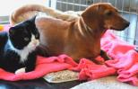 Paralyzed kitten and abandoned dachshund play together