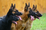 four mixed-breed dogs