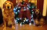 Golden retriever Ike and spaniel Kelly pose with a finished wreath.