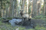 baby elk plays in puddle