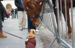 French bulldog puppy rubs noses with huge NYPD horse