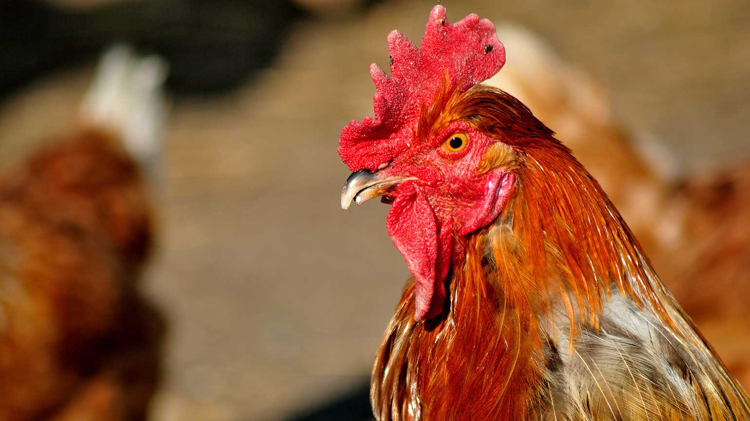 A Rhode Island Red rooster