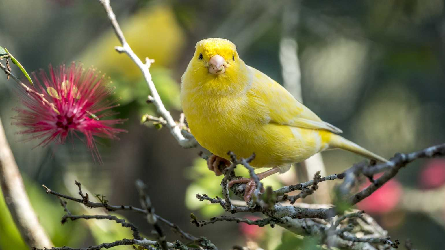 A yellow canary perched on a tree branch.