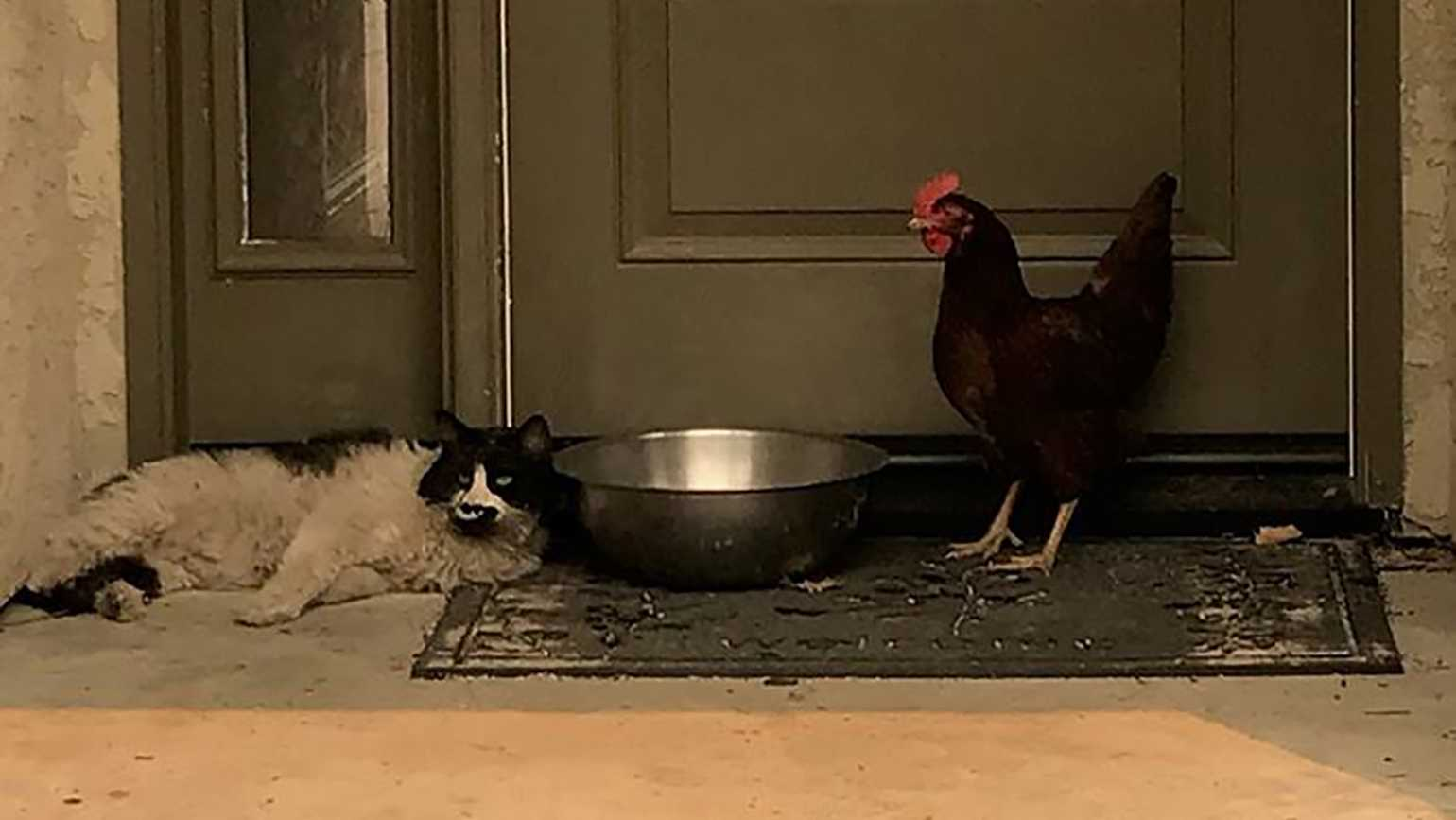 Cat and chicken huddle together during fire