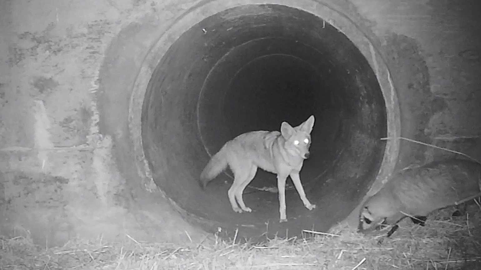 Coyote and badger walking through a human-made structure together