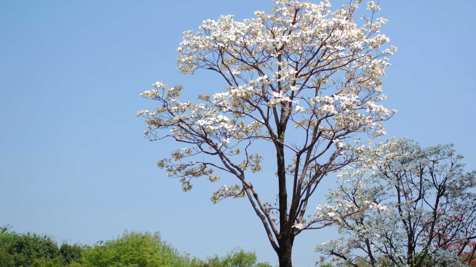 A dogwood tree in full bloom during Springtime.