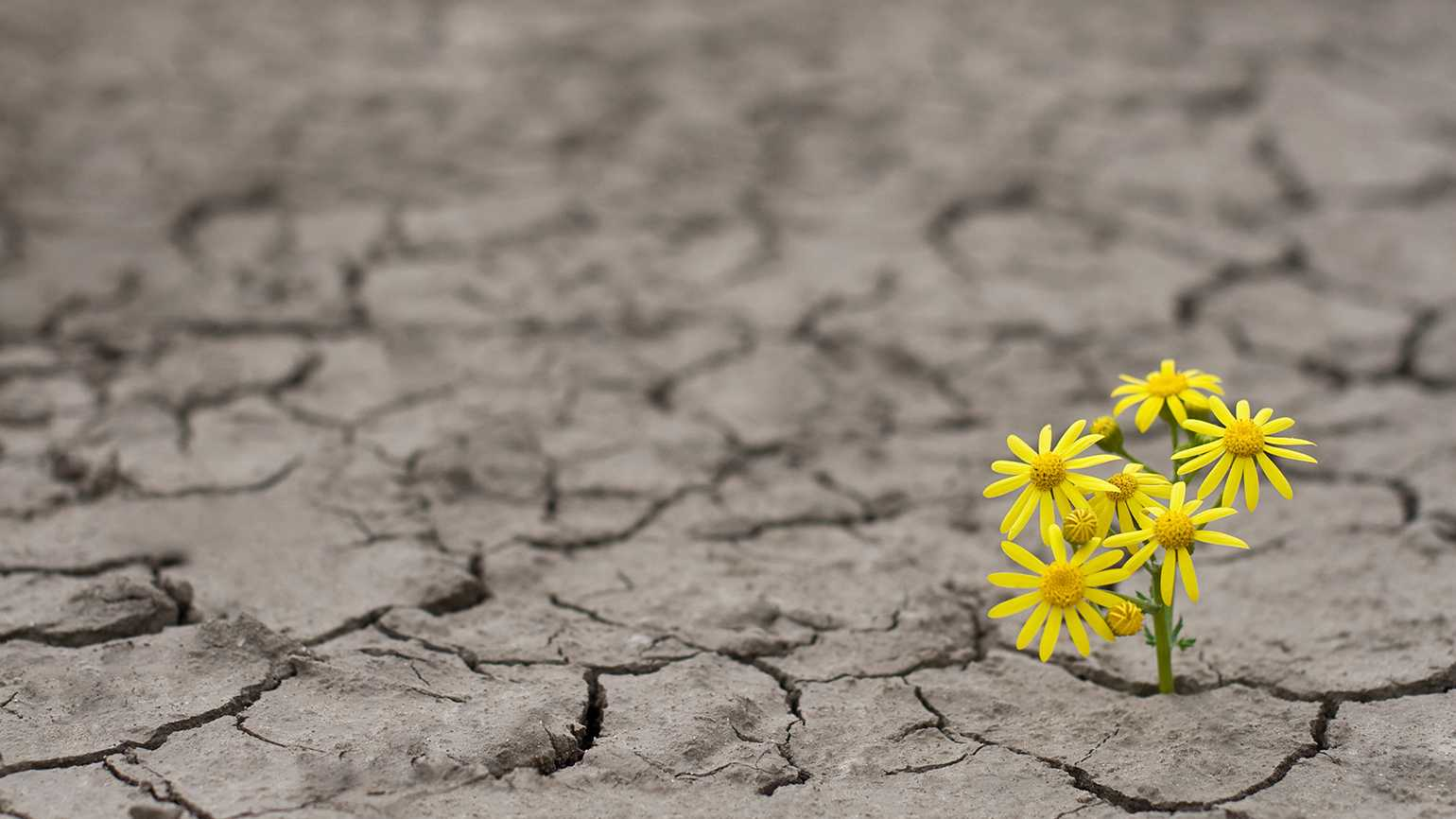 Yellow flowers blossom from dry, cracked earth