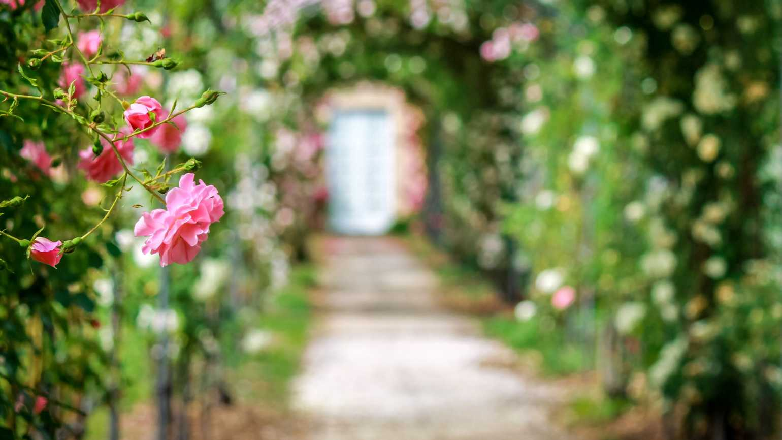 Beautiful roses on arches in the ornamental garden with footpath.