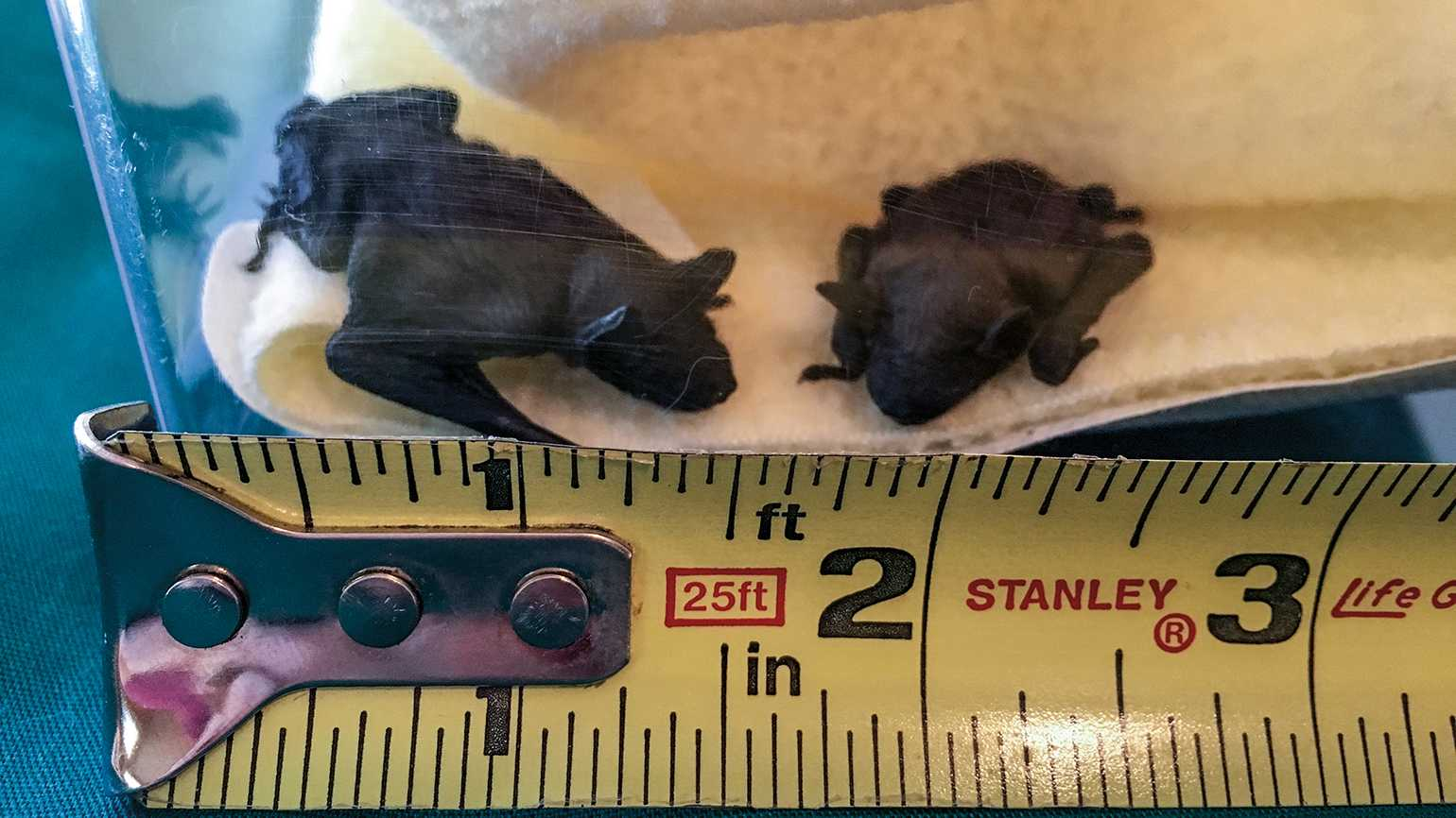 Twin baby bats weighing three grams each