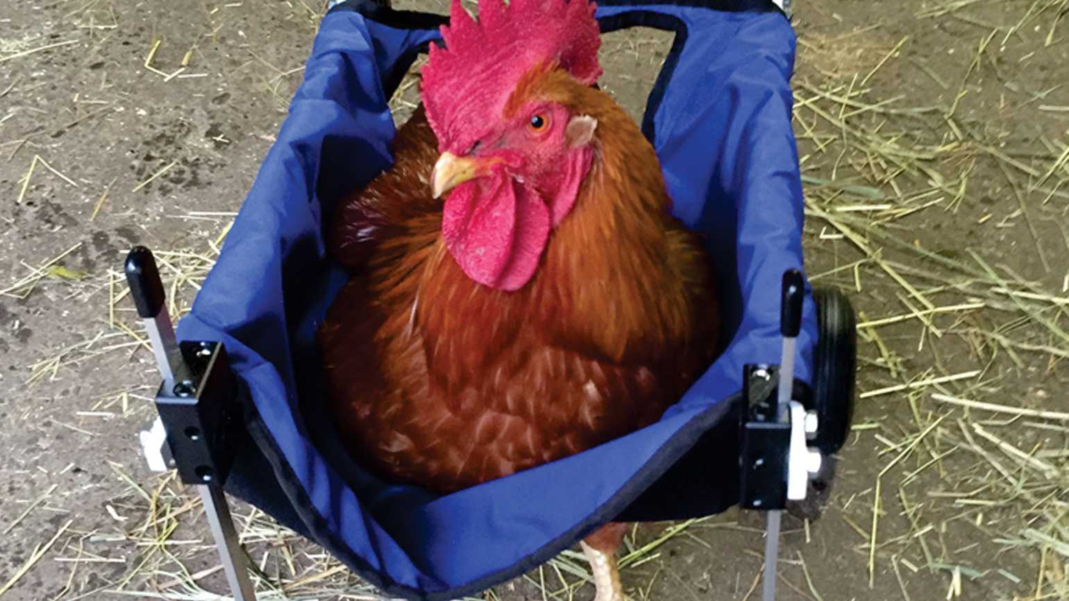 Louise the rooster in a wheelchair.