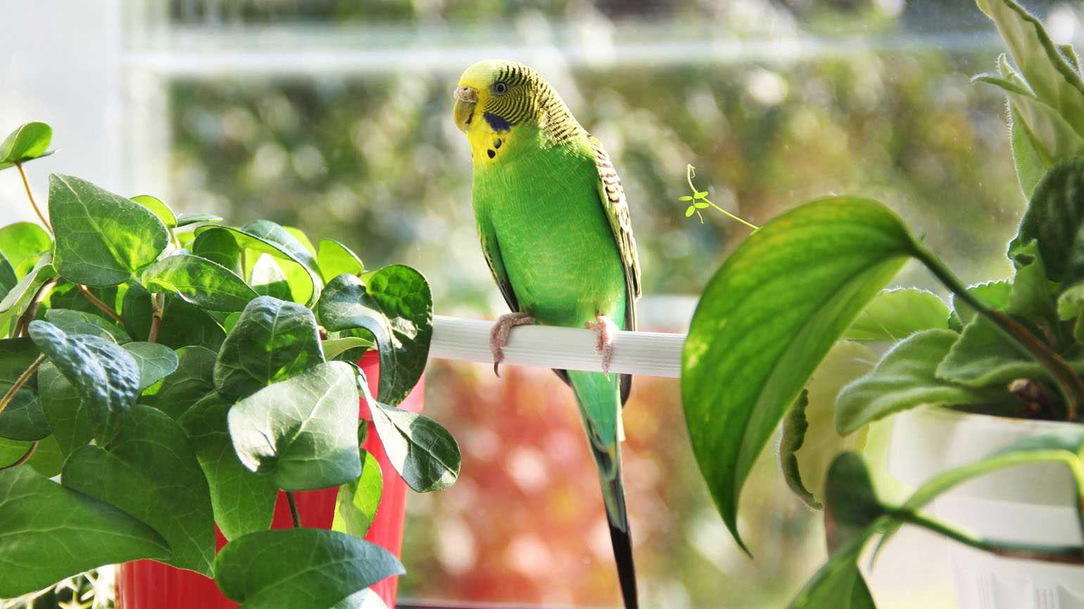 A green parakeet relaxing by indoor plants.