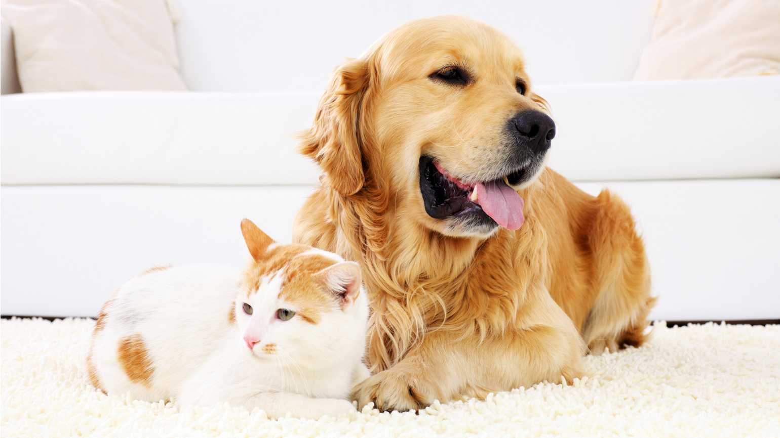 A golden retriever and a cat relaxing on a white carpet.