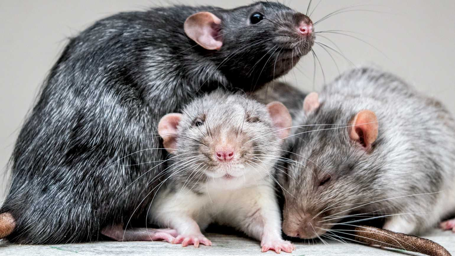 Franklin, Vincent and Xavier the therapy rats.