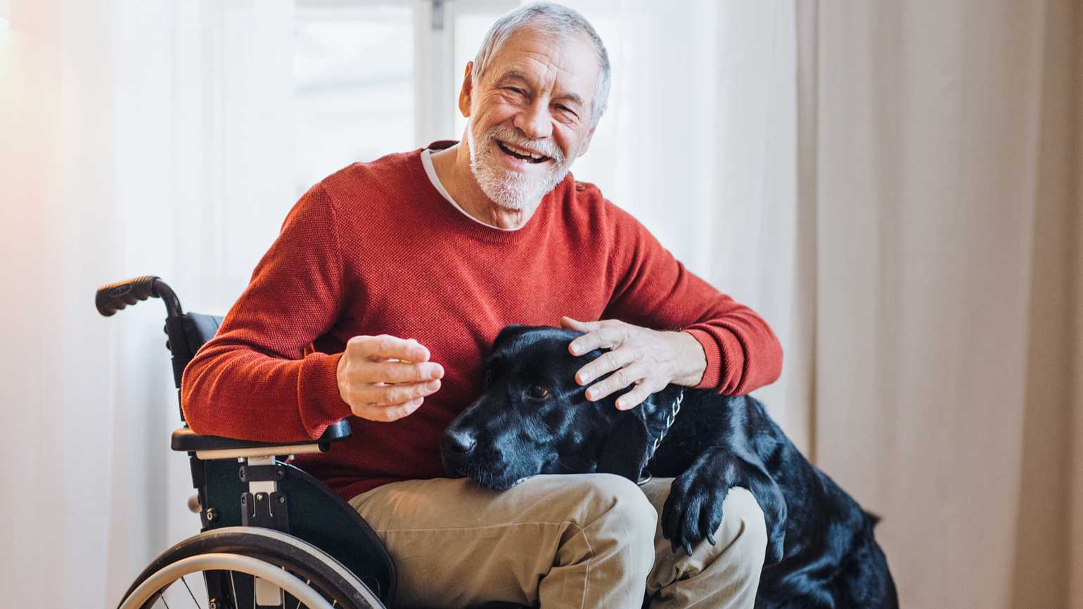An older man in a wheelchair happily plays with his Labrador.