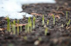 Tender shoots of spring. Shutterstock.