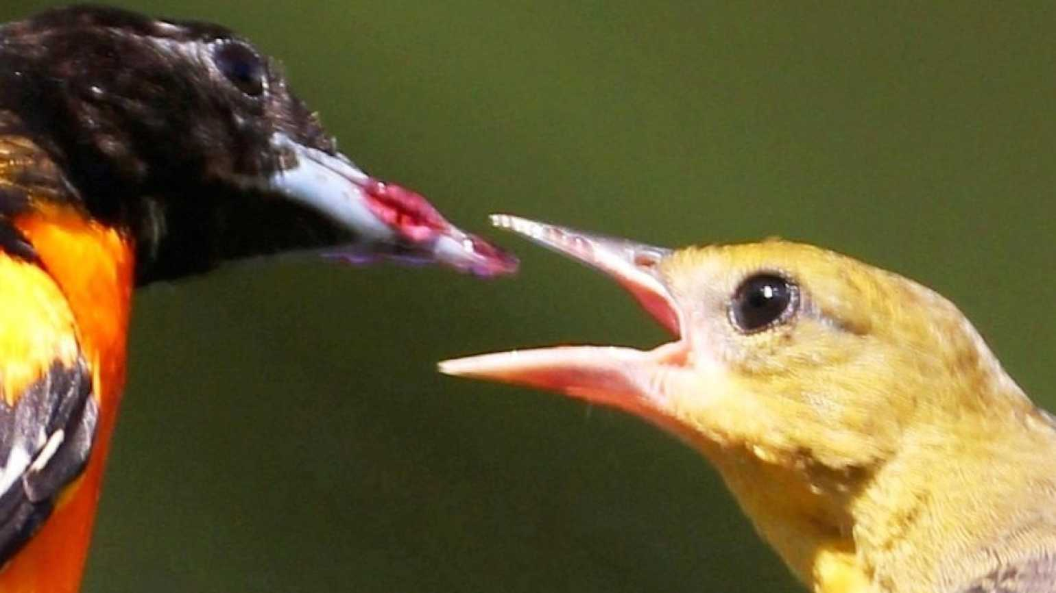 A Baltimore oriole feeds his young some grape jelly. Photo by Barbara K. Higgins.
