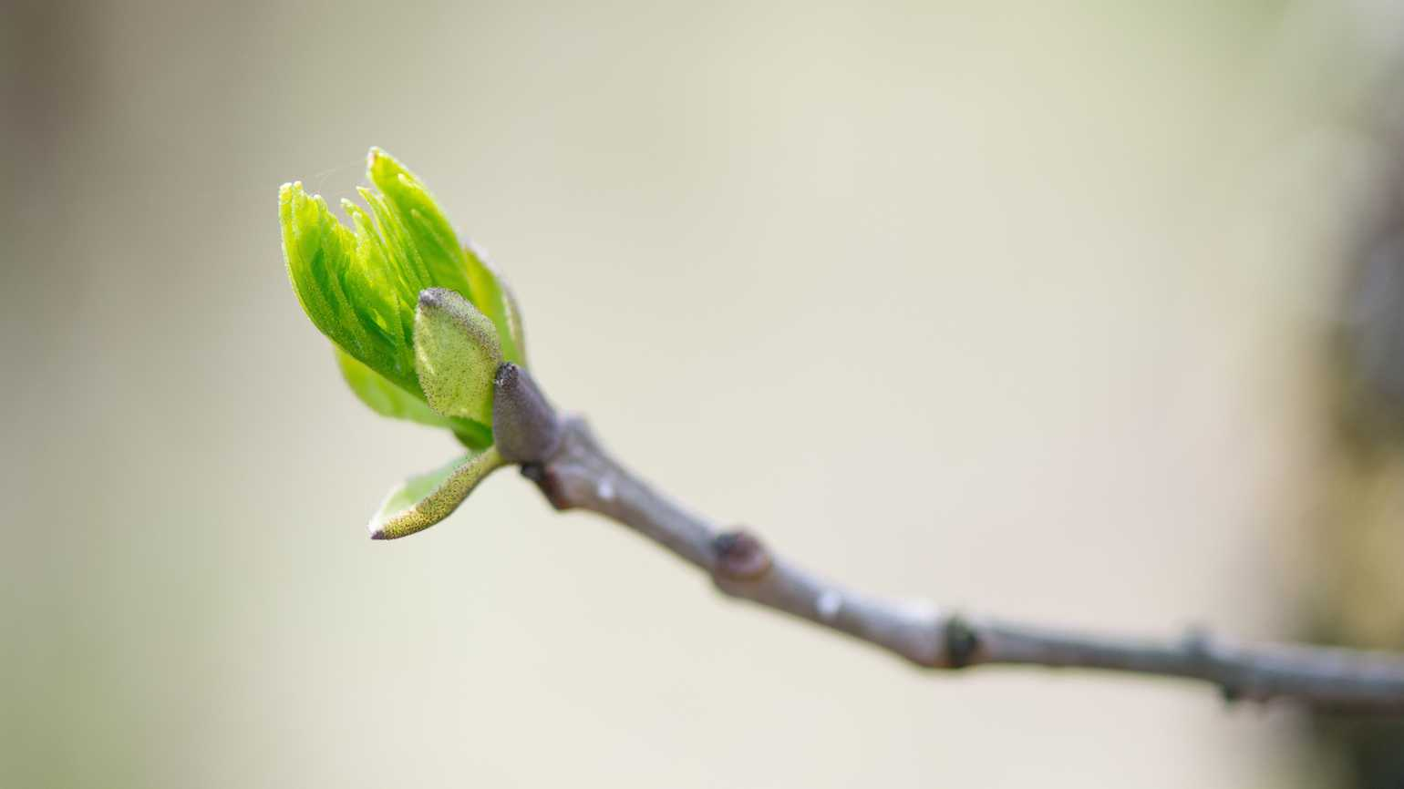 Tree in bud, promise of spring