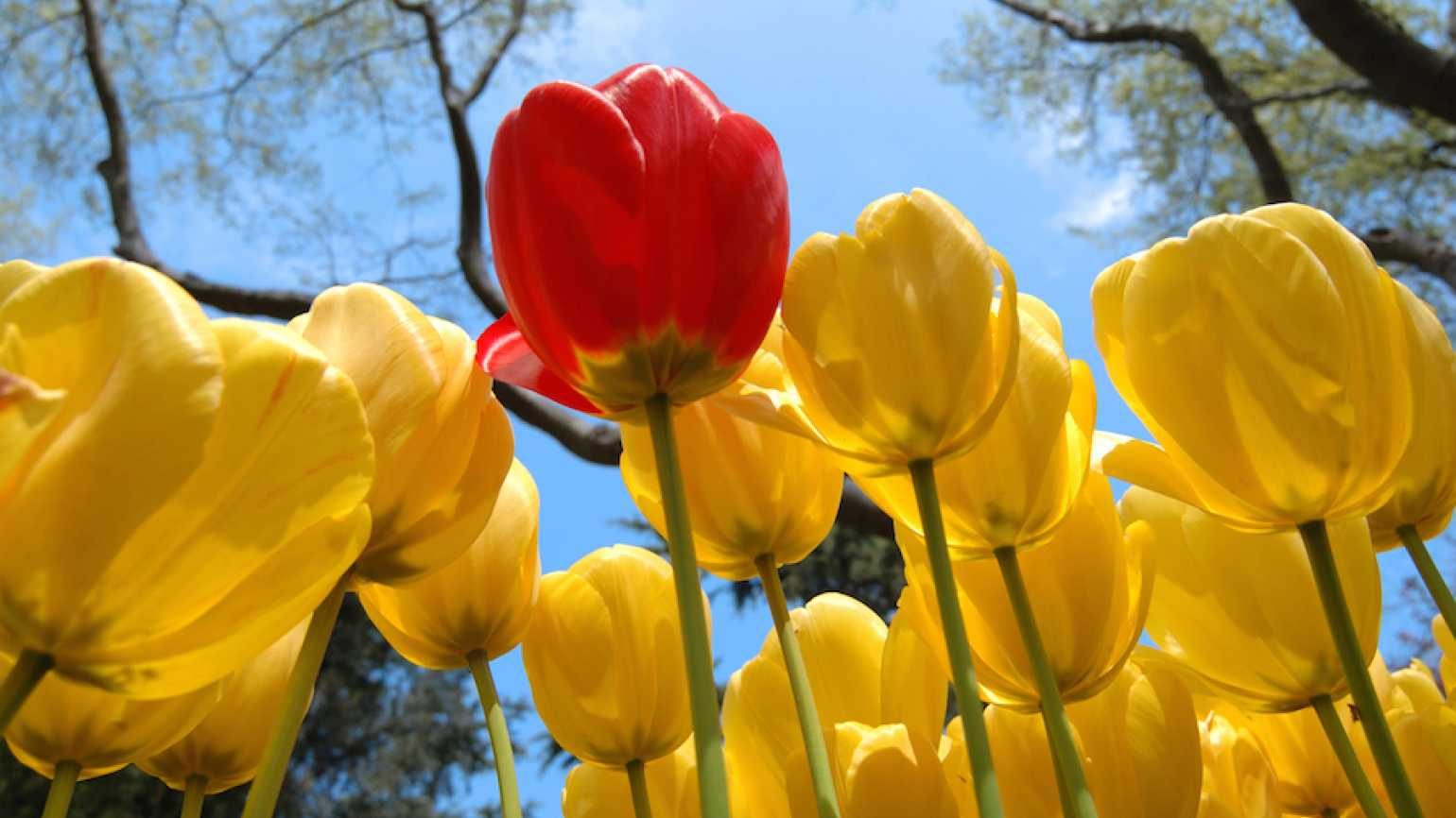 An inspiring red tulip stands tall in a field of yellow tulips.