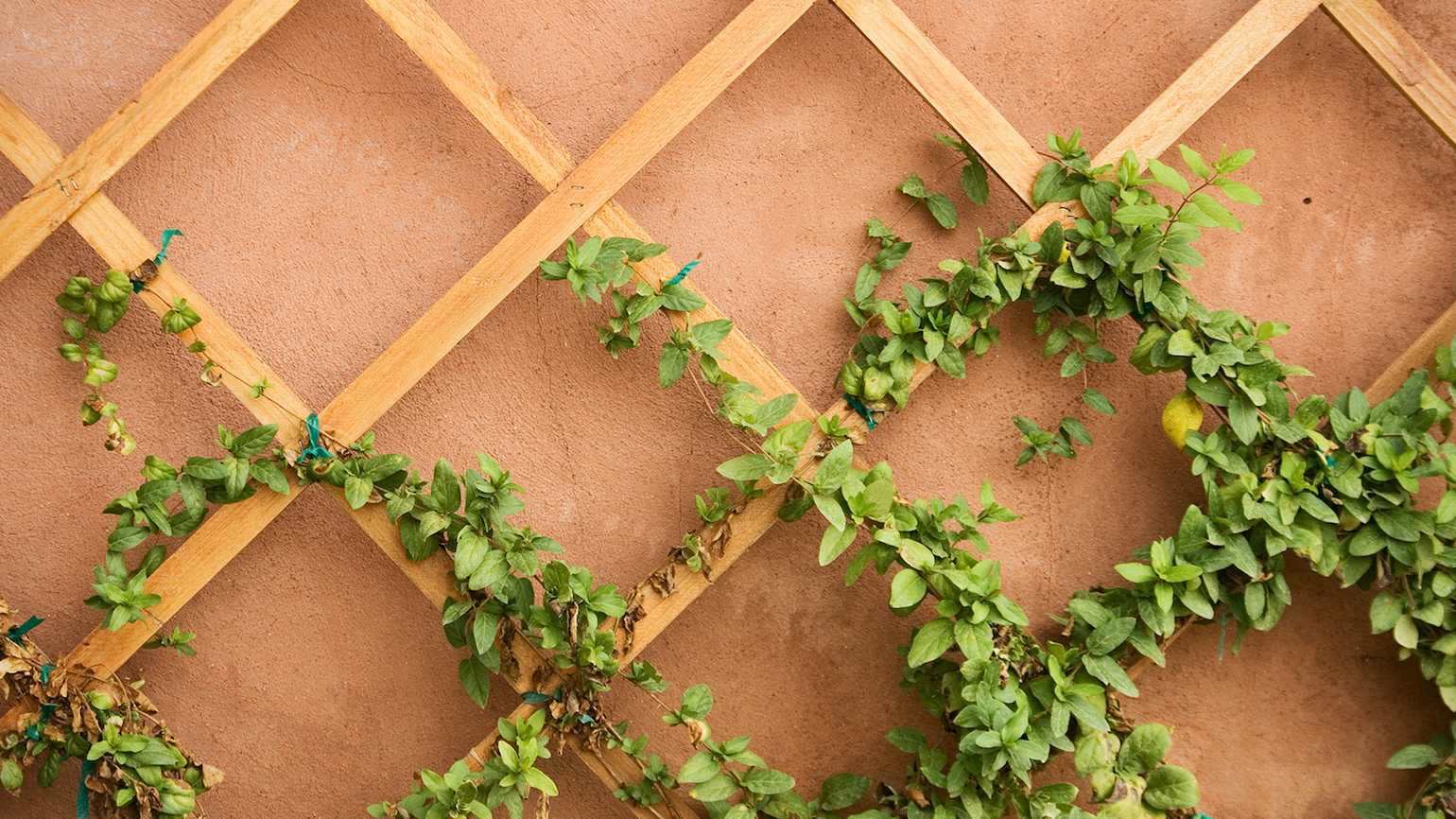 Vines on a trellis