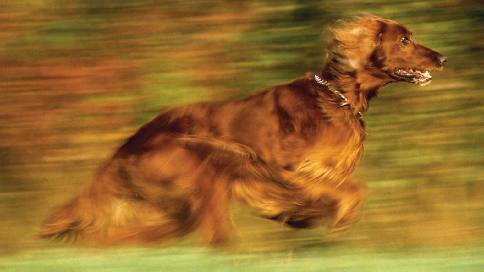 A photo of an Irish setter running across a field
