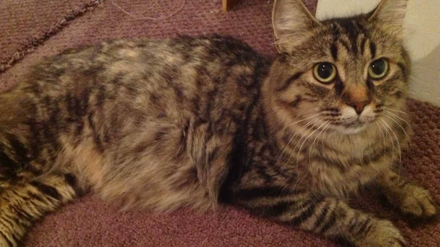 Tweedledum, a house cat who was born feral. Photo by Lori Cohen.