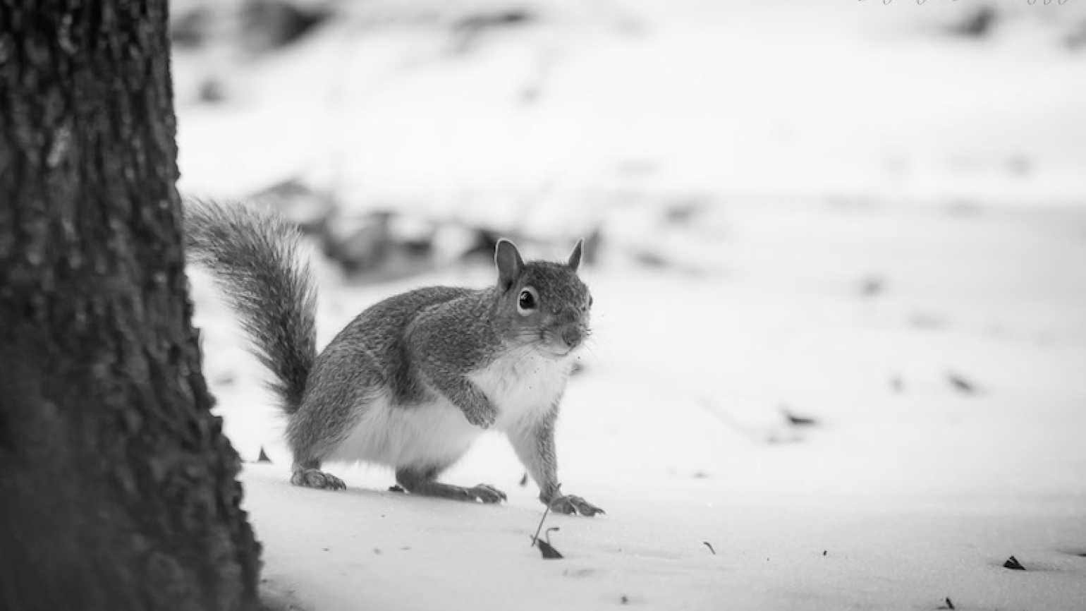 A squirrel in the snow. Photo by Judy Royal Glenn.