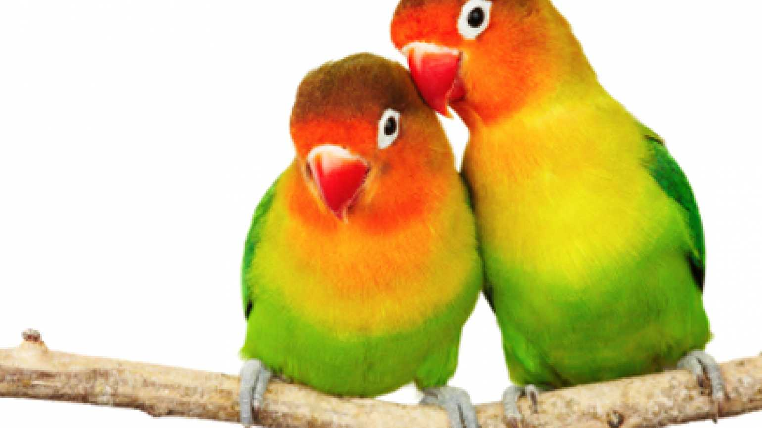 b96ea30d30fe Valentine s Day Pets  Lovebirds