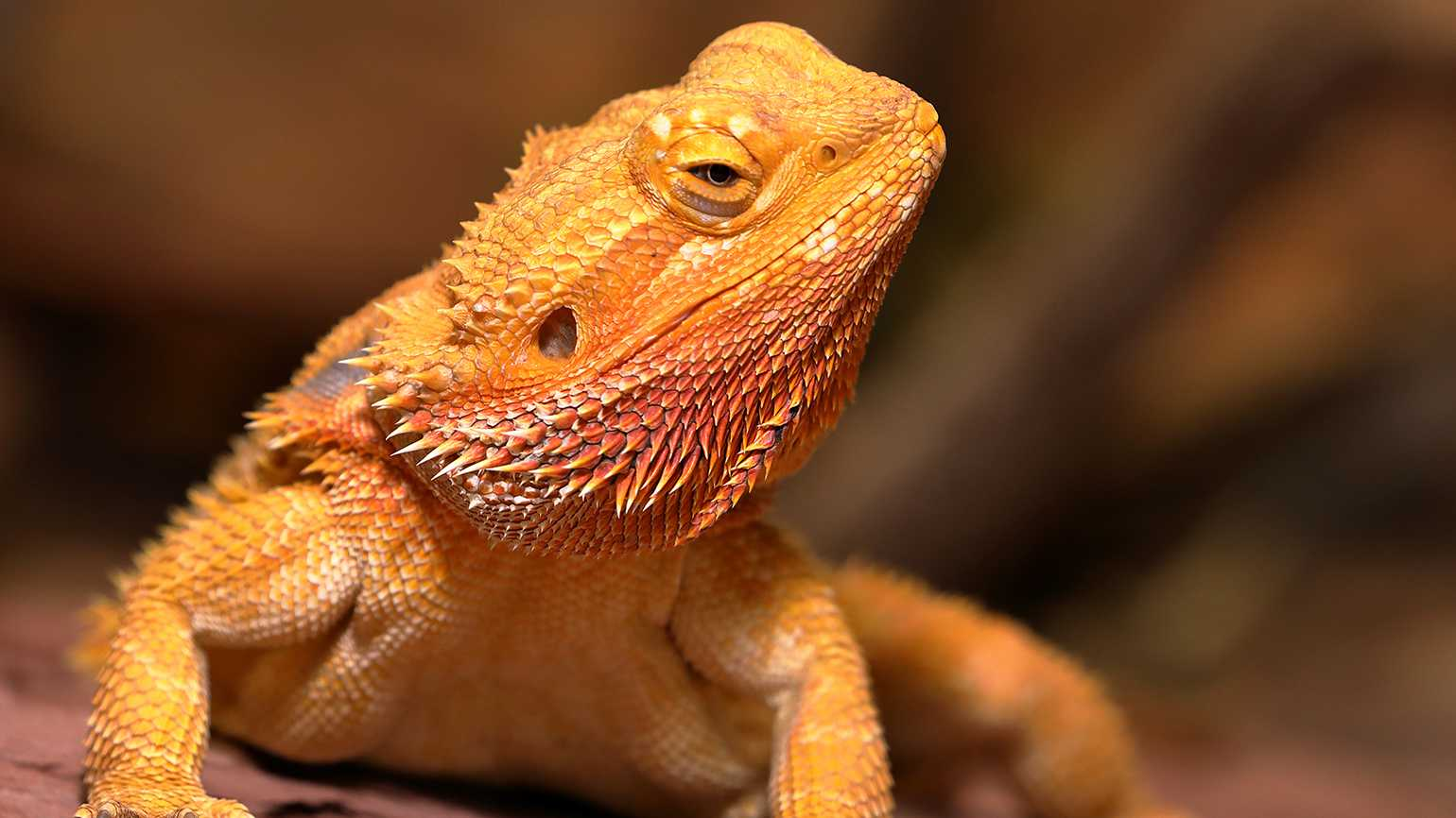 A bearded dragon
