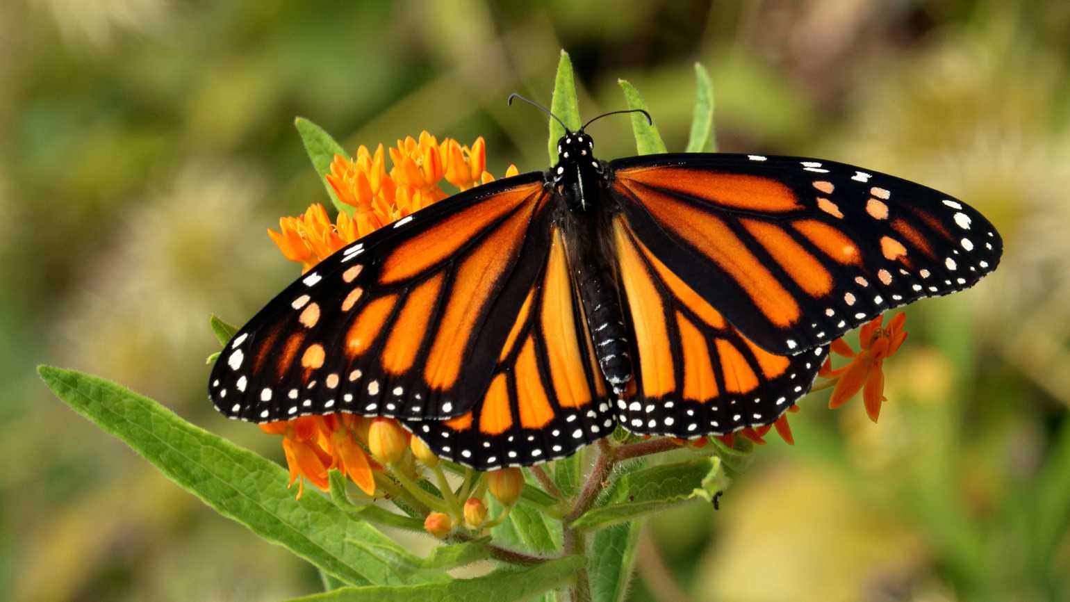 A monarch butterfly on a flower.
