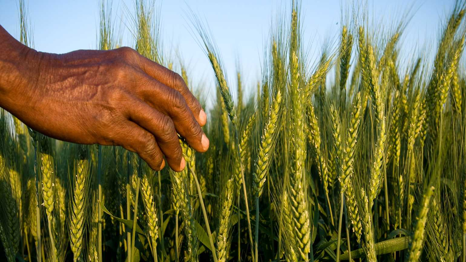 A hand reaching out to pick wheat grains.