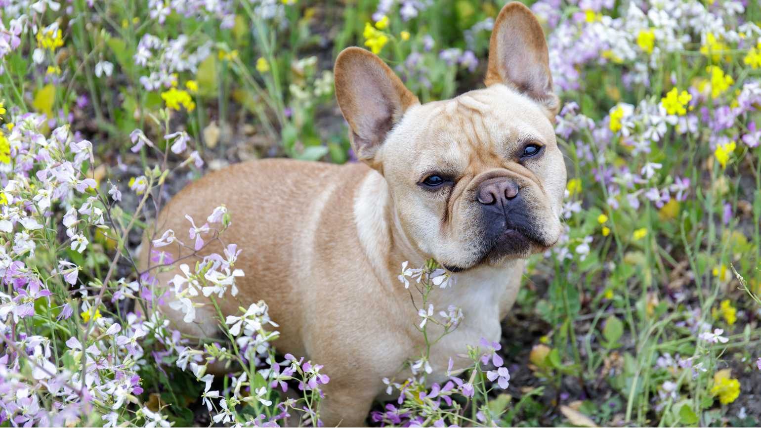 Frenchie sitting in a meadow full of wildflowers in Pescadero, San Mateo County, California, USA.