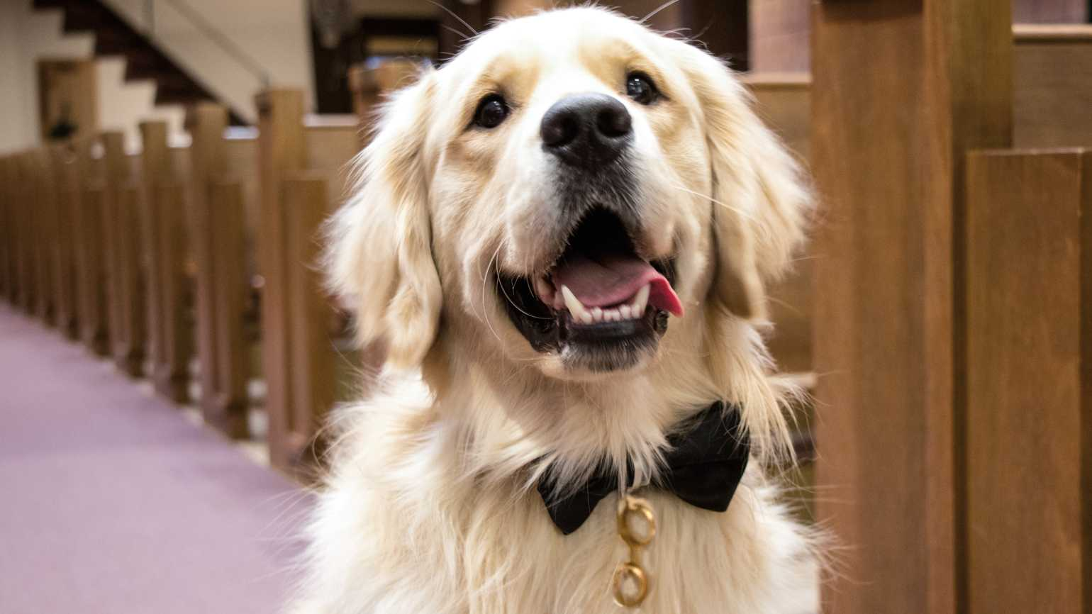 Best dog, Petey, decked out in a bow tie bearing rings.