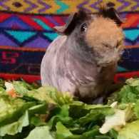Buford the guinea pig, surrounded by his favorite salad. Photo by Dawn Miklich.