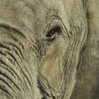 Close-up of an elephant's eye. Thinkstock.