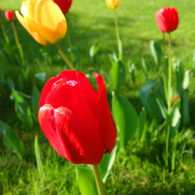 Planting hope for spring with tulip bulbs