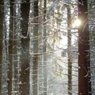 Sun shining through snowy branches. Photo by Sinelev, Shutterstock.